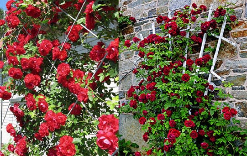 Пара вариантов опор для плетистых роз