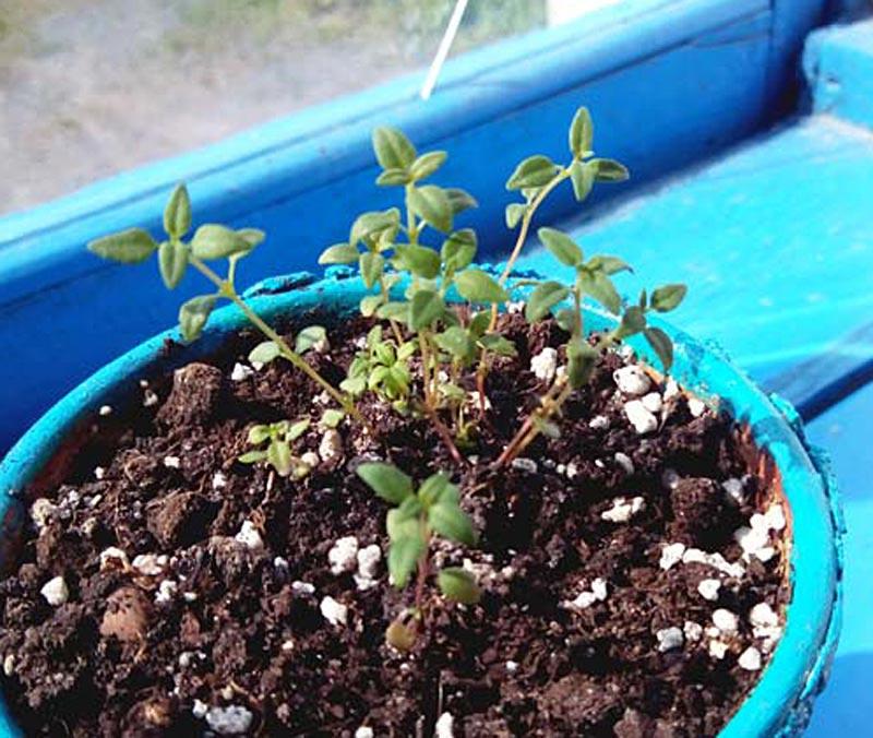 Как вырастить чабрец: из семян, в домашних условиях, на даче, уход