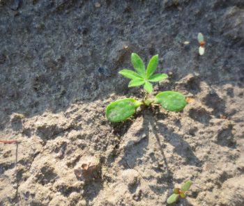 Через месяц растение укореняется