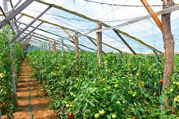 Парник для рассады томатов 188